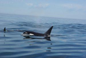 Orcas offshore of Cascade Head